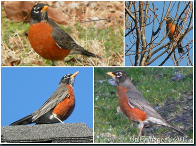 robins collage0311
