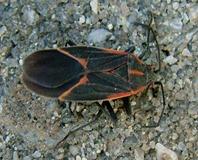 elder bug1