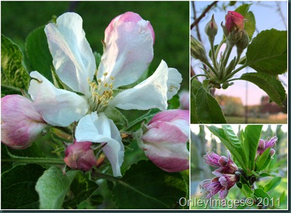 apple blossoms collage0407