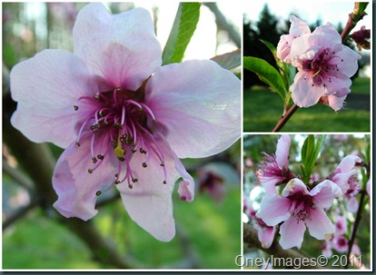 peach blossoms collage0407