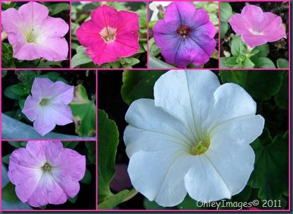 petunia collage0502
