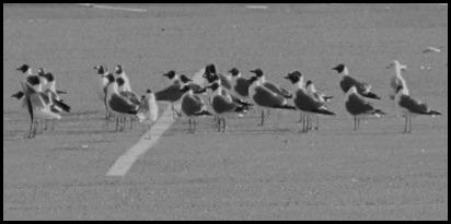 gull lineup (3)