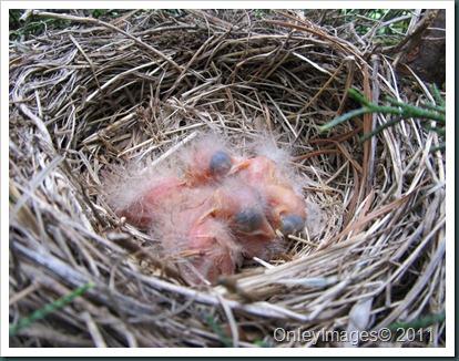 robin nest 0513 (2)