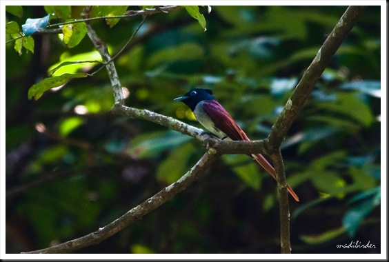 male Asian Paradise flycatcher