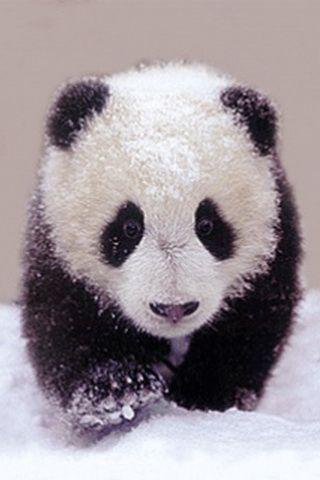 Cute Baby Panda Wallpaper For iPhone
