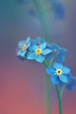 Beautiful Blue Flowers Background For iPhone