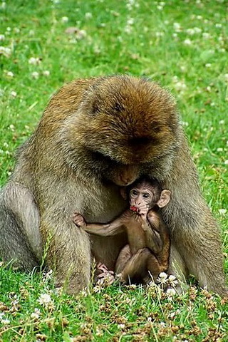 Cute Baby Monkey and Mom Picture iPhone Wallpaper