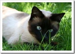 gatos-siames