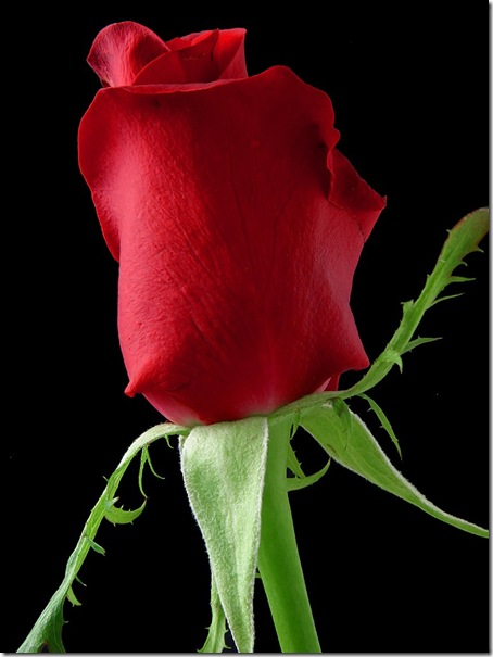 rose_1_bg_030703