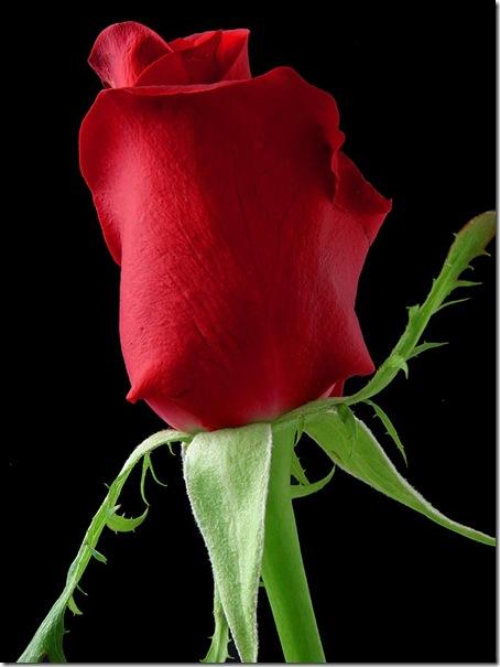 rose_1_bg_030703