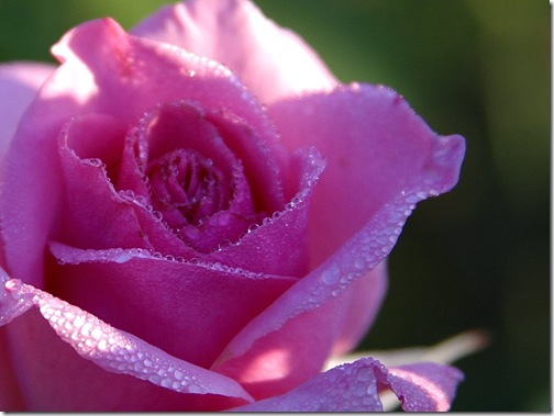 rose_2_bg_100502