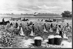 Slaves harvesting cotton