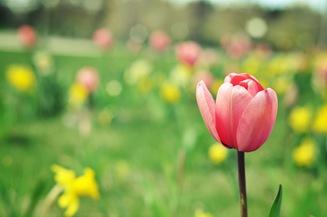 zoo tulips2