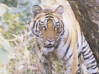 Kanha Tiger2.jpg