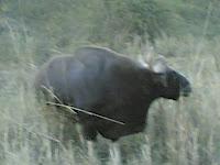 Kanha Bison4.jpg
