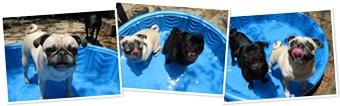 View Pool pugs1