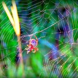 Busy spider... by Elfie Back - Nature Up Close Webs ( cobweb, nature up close, spider, insects, spider web,  )