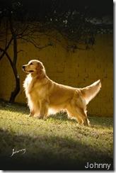 """O Golden Retriever é uma das raças mais fotografadas pelo Johnny: """"É a raça da moda, todo mundo tem e gosta. Mas clico muito Rhodesian, Chihuahua, Rottweiller e Bulldog""""."""