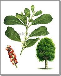 Ilex paraguaensis