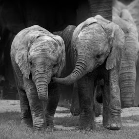 Want to Talkl? by Michael Price - Black & White Animals ( animal behaviour, addo elephant national park, baby elephants, loxodonta africana, african wildlife, elephant interaction )