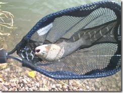 Trout in Net 2