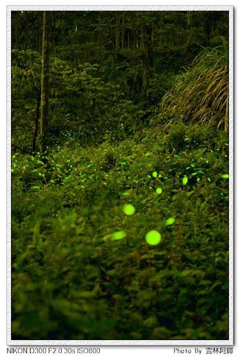 古坑-華山螢火蟲季