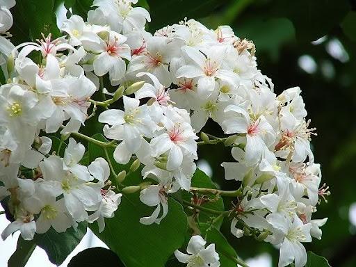 古坑-2010雲林縣客家桐花祭 油桐花季來相約