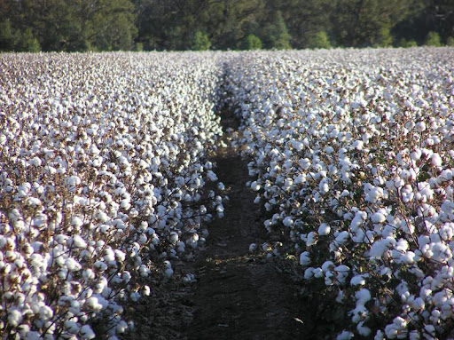 Cotton prices keep rising with New York futures, by weekend domestic lint was at rs 10,600, spot rate at rs 10,100