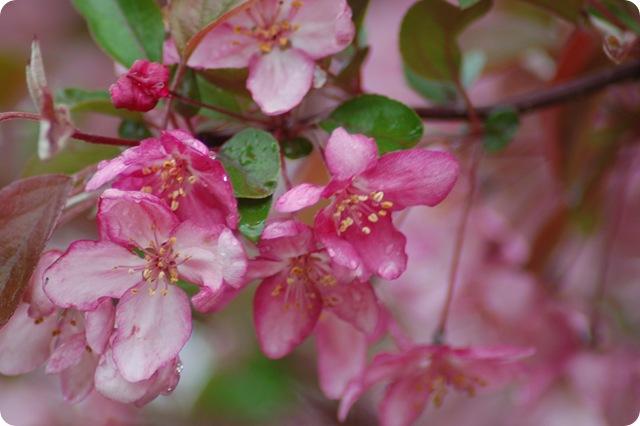 plum tree blooms 3