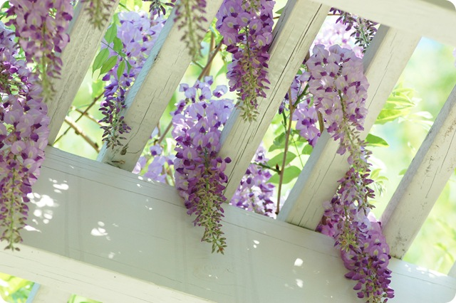 wisteria clusters w sun shining through