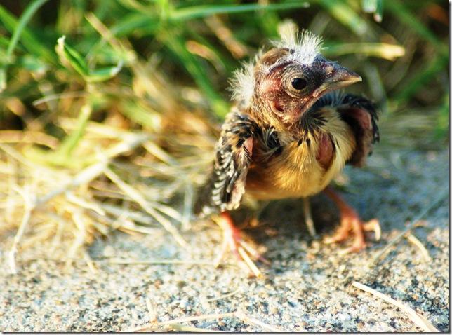 baby bird lost