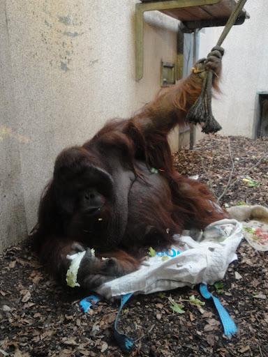 El orangután obeso