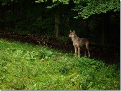 Un lupo al tierpark di sababurg