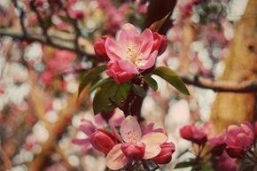 Cherry-Crabapple 4-14-08 copy2