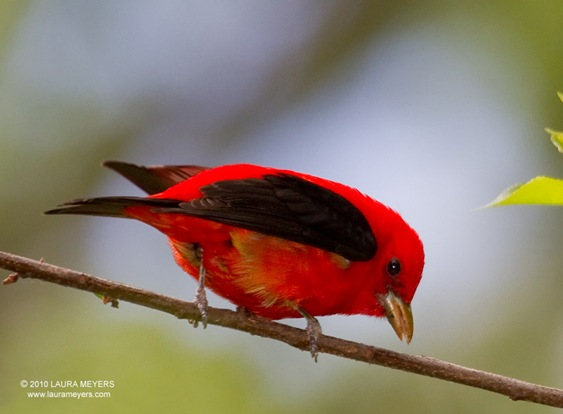 Scarlet Tanager by Laura Meyers