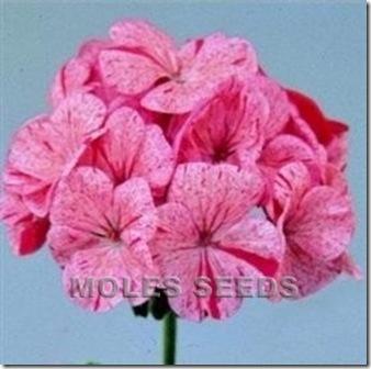 Geranium Raspberry Rippie