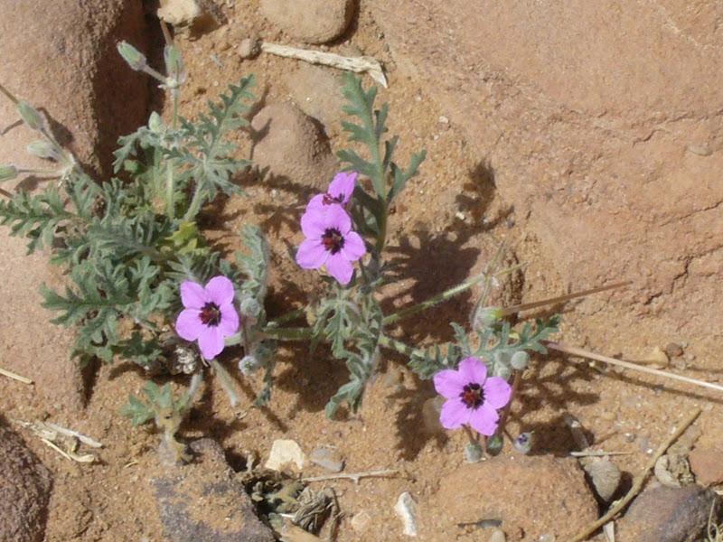 Pianta con piccolo fiori viola rossi bianchi e con foglie for Pianta mediterranea con fiori rossi bianchi e gialli