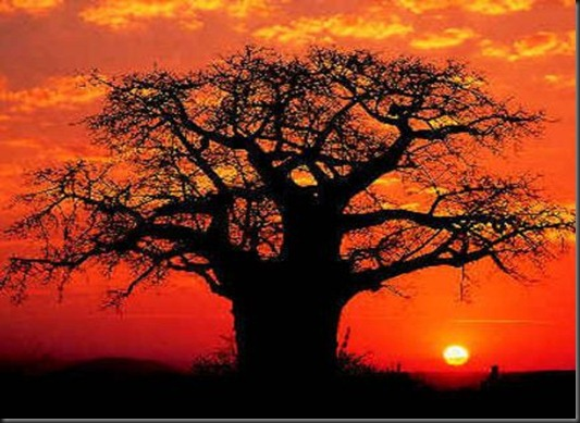 africa-kruger-park-baobab-tree-in-sunset-large1