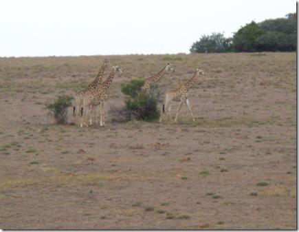 12-04-2009 001 Giraffes along highway