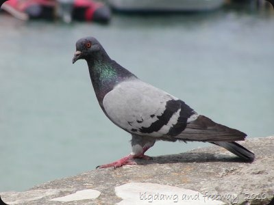 Pigeon,Feral