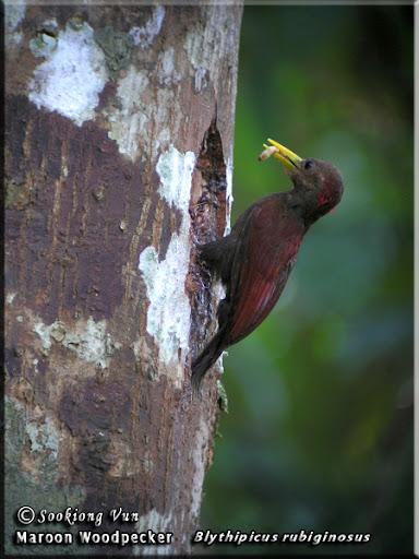http://lh5.ggpht.com/_BO-A6RmqWSg/SnmEHtgxx8I/AAAAAAAAKDE/NoQ_cEUMAxY/Maroon+Woodpecker---Blythipicus+rubiginosus-02+copy.jpg