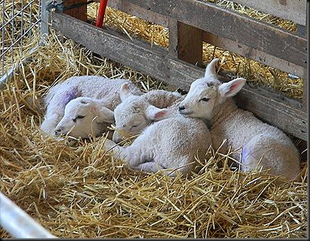 lambs 014