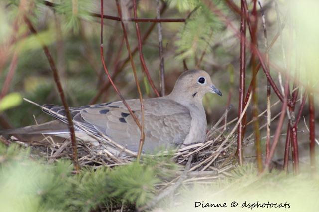 IMG_7335 Nesting Dove