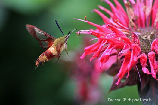 IMG_6139 (2) Hummingbird Moth