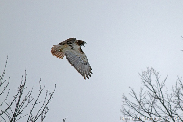 IMG_1982_Red-Tailed Hawk_crop