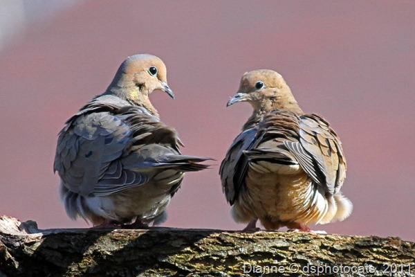 IMG_2266 Mourning Doves_812