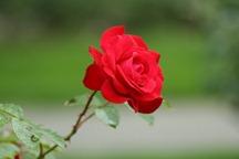 IMG_1806 Rose