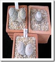 Mammillariasanchezmejoradeagrupo2