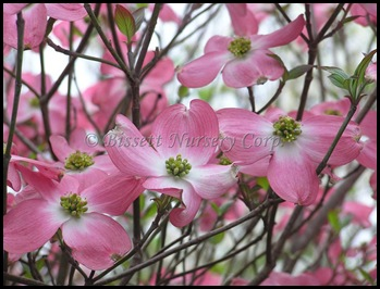 pink Dogwood-Pink-25