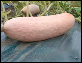 pink banana squash